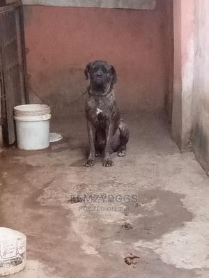 1+ Year Male Purebred Boerboel | Dogs & Puppies for sale in Abuja (FCT) State, Lugbe District