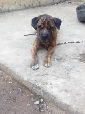 6-12 Month Male Purebred Boerboel   Dogs & Puppies for sale in Ogun State, Obafemi-Owode