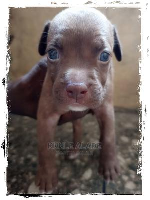 0-1 Month Female Purebred American Pit Bull Terrier | Dogs & Puppies for sale in Lagos State, Mushin
