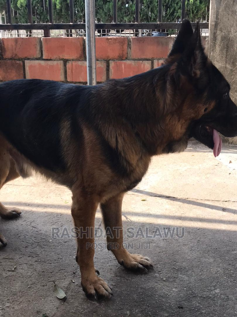 1+ Year Male Purebred German Shepherd   Other Animals for sale in Kubwa, Abuja (FCT) State, Nigeria