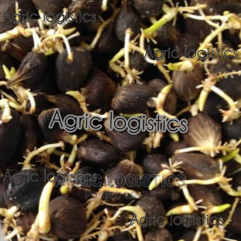 Hybrid Tenera Seeds and Seedlings