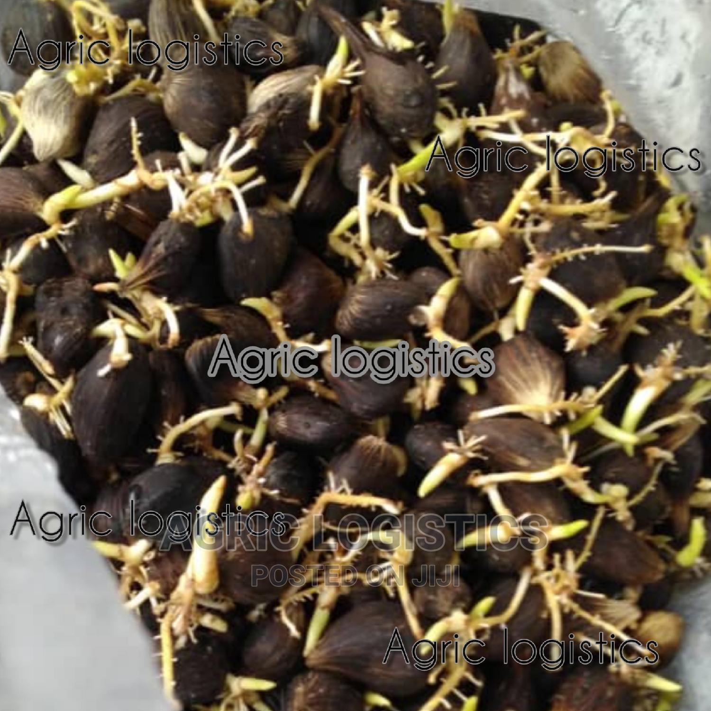 Hybrid Tenera Seeds and Seedlings | Feeds, Supplements & Seeds for sale in Ibadan, Oyo State, Nigeria