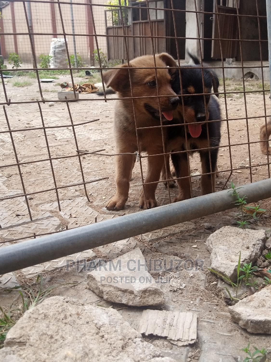 1-3 Month Male Mixed Breed Rottweiler | Dogs & Puppies for sale in Agege, Lagos State, Nigeria