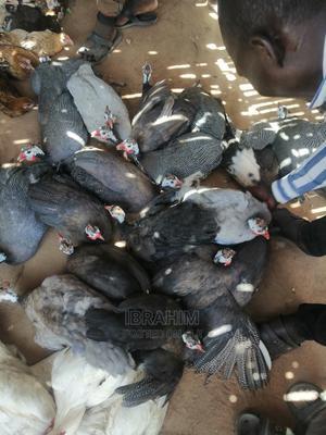 Matured Guinea Fowls | Birds for sale in Kaduna State, Kaduna / Kaduna State