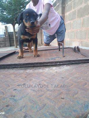 1-3 Month Male Purebred Rottweiler   Dogs & Puppies for sale in Ogun State, Abeokuta South