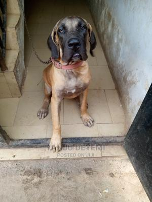 6-12 Month Male Purebred Boerboel | Dogs & Puppies for sale in Oyo State, Ibadan