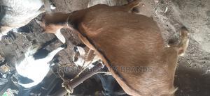 Pregnant Goat   Livestock & Poultry for sale in Lagos State, Lagos Island (Eko)