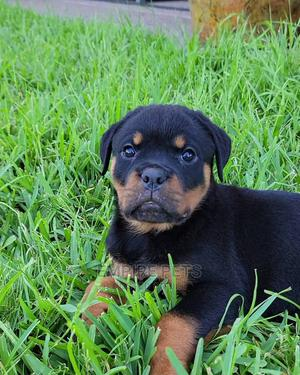 1-3 Month Male Purebred Rottweiler | Dogs & Puppies for sale in Lagos State, Alimosho
