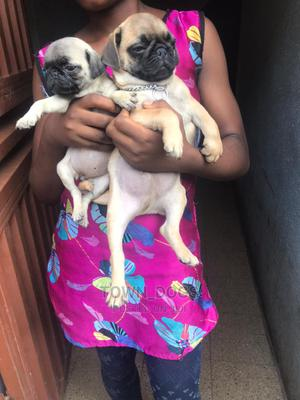 1-3 Month Male Purebred Pug   Dogs & Puppies for sale in Lagos State, Alimosho