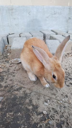 Male Rabbit   Livestock & Poultry for sale in Lagos State, Ajah