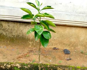 Sweet Budded Orange Seedlings | Feeds, Supplements & Seeds for sale in Rivers State, Port-Harcourt