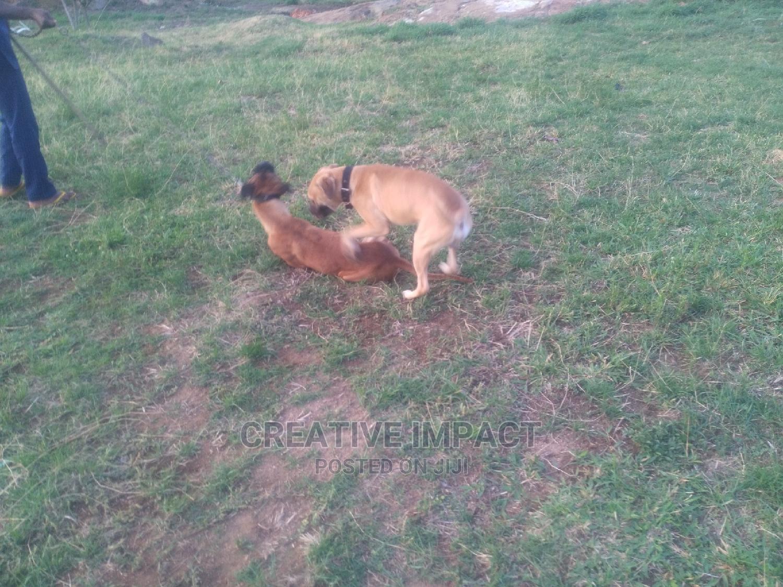 Archive: 1+ Year Female Purebred Mastiff