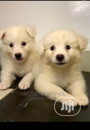 1-3 Month Female Purebred American Eskimo   Dogs & Puppies for sale in Ogun State, Obafemi-Owode