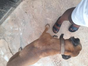 6-12 Month Male Purebred Boerboel   Dogs & Puppies for sale in Ogun State, Abeokuta South