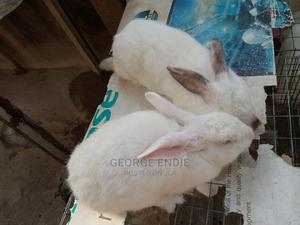 Combo Male and Female Adult Hyla for Sale. | Livestock & Poultry for sale in Oyo State, Ibadan