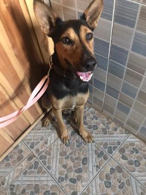 1+ year Male Mixed Breed German Shepherd | Dogs & Puppies for sale in Oyo State, Ibadan