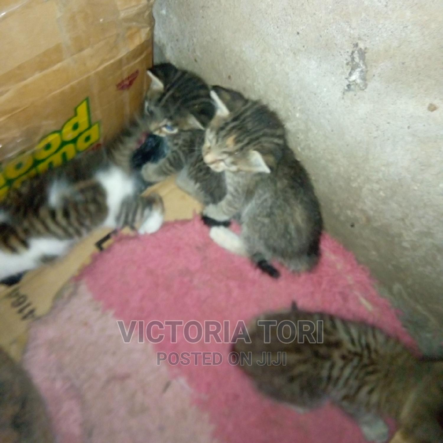 Archive: 1-3 Month Female Mixed Breed American Wirehair