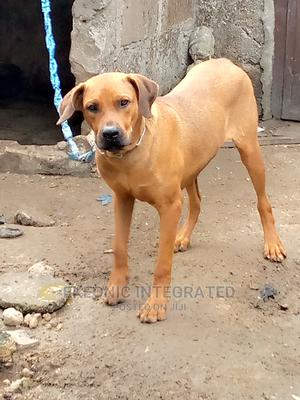 6-12 Month Male Purebred Boerboel   Dogs & Puppies for sale in Rivers State, Port-Harcourt