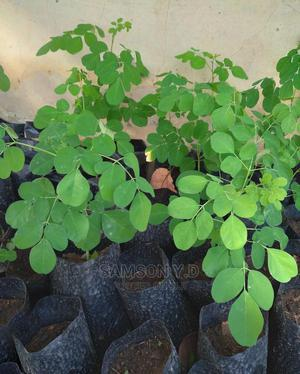 Moringa Seedlings | Feeds, Supplements & Seeds for sale in Lagos State, Epe
