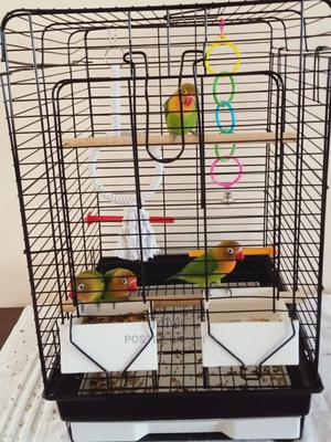 Male and Female Love Birds | Birds for sale in Rivers State, Port-Harcourt
