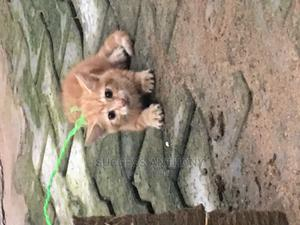 1-3 Month Female Purebred American Wirehair | Cats & Kittens for sale in Lagos State, Ikotun/Igando