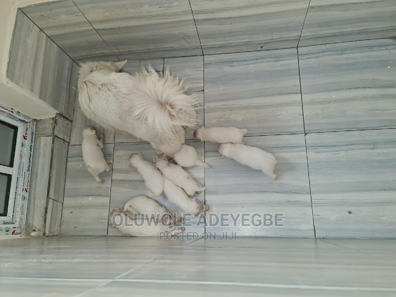 0-1 Month Female Purebred American Eskimo   Dogs & Puppies for sale in Amuwo-Odofin, Lagos State, Nigeria