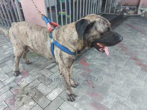 1+ Year Male Purebred Boerboel | Dogs & Puppies for sale in Rivers State, Port-Harcourt
