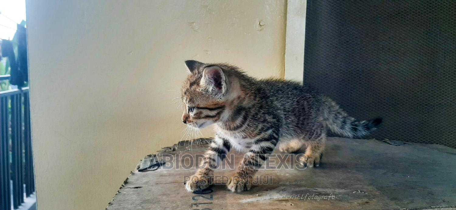 1-3 Month Male Mixed Breed Other   Cats & Kittens for sale in Surulere, Lagos State, Nigeria