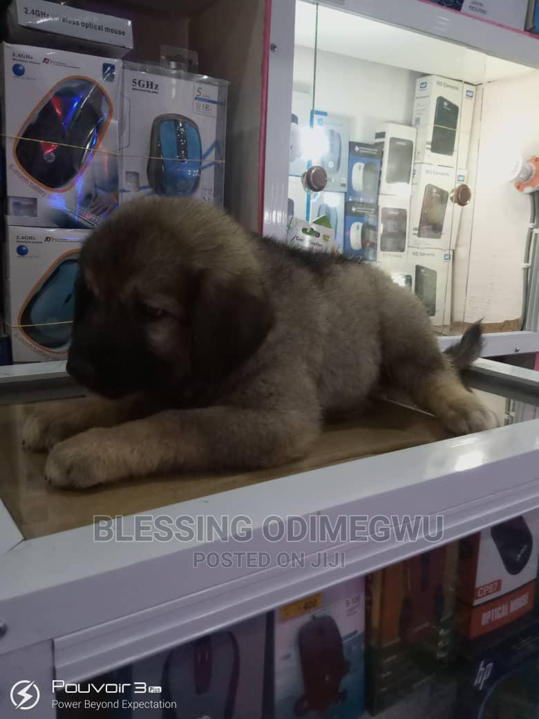 1-3 Month Female Mixed Breed Other   Dogs & Puppies for sale in Garki 1, Abuja (FCT) State, Nigeria