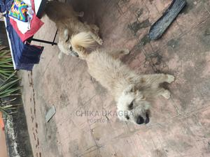 1+ Year Male Mixed Breed Sloughi | Dogs & Puppies for sale in Lagos State, Ajah