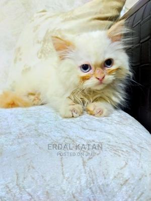 3-6 Month Female Mixed Breed Turkish Van | Cats & Kittens for sale in Lagos State, Ikeja