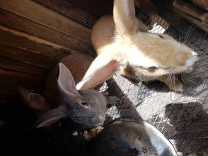 Cute Bunnies For Sale   Livestock & Poultry for sale in Lagos State, Ikorodu