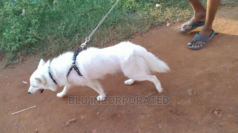 6-12 Month Male Purebred American Eskimo | Dogs & Puppies for sale in Agege, Lagos State, Nigeria