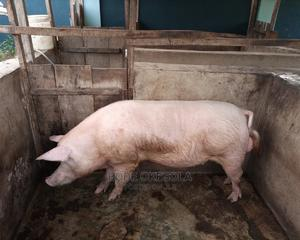 Pig Weaners: Large White And Landrace Available | Livestock & Poultry for sale in Ogun State, Abeokuta North