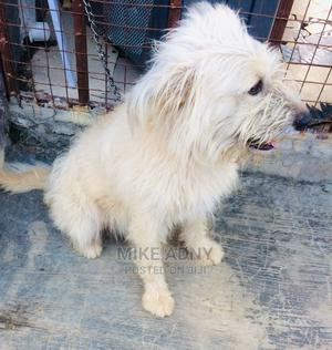 1+ Year Male Purebred Berger Picard | Dogs & Puppies for sale in Kwara State, Asa