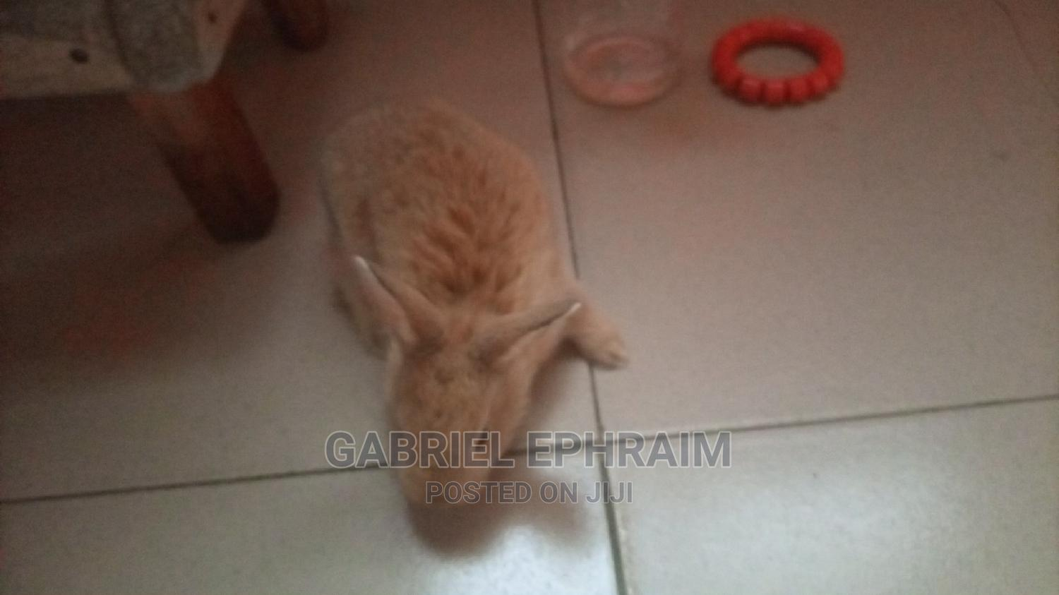 Rabbit's, Palomino Breeds | Livestock & Poultry for sale in Port-Harcourt, Rivers State, Nigeria