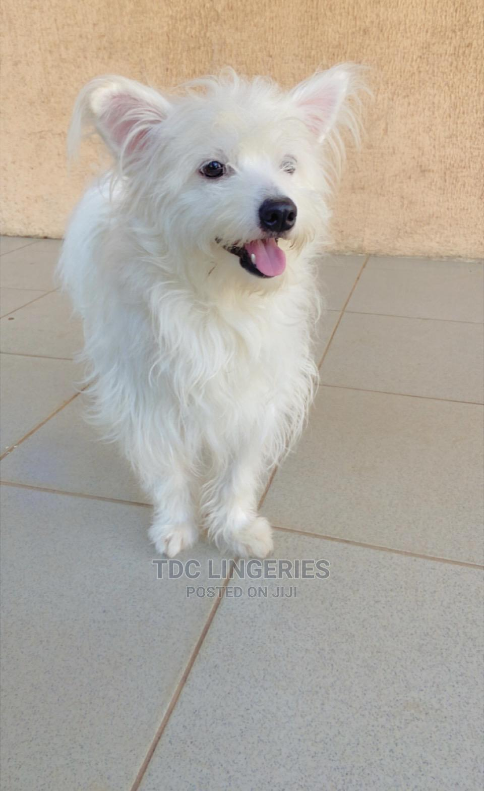 1+ year Male Mixed Breed Samoyed   Dogs & Puppies for sale in Asokoro, Abuja (FCT) State, Nigeria