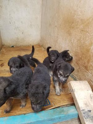 1-3 Month Female Purebred German Shepherd | Dogs & Puppies for sale in Ogun State, Ado-Odo/Ota