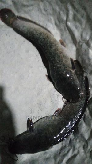 Live Catfish 1kg | Livestock & Poultry for sale in Lagos State, Maryland