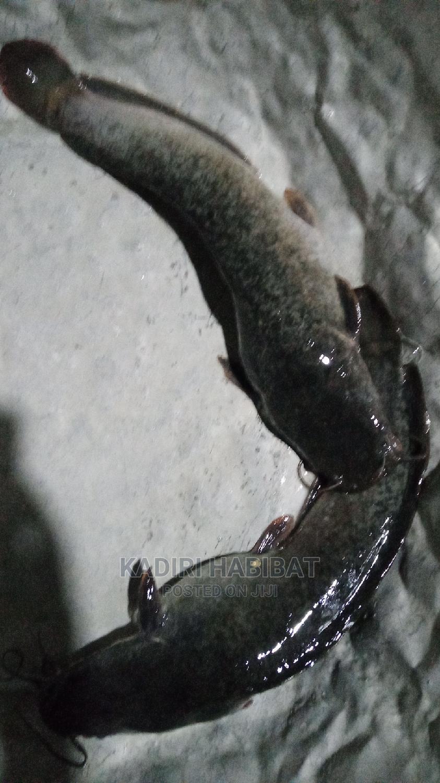 Live Catfish 1kg