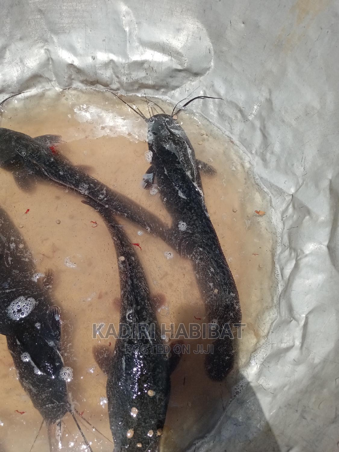 Live Catfish 1kg | Livestock & Poultry for sale in Maryland, Lagos State, Nigeria