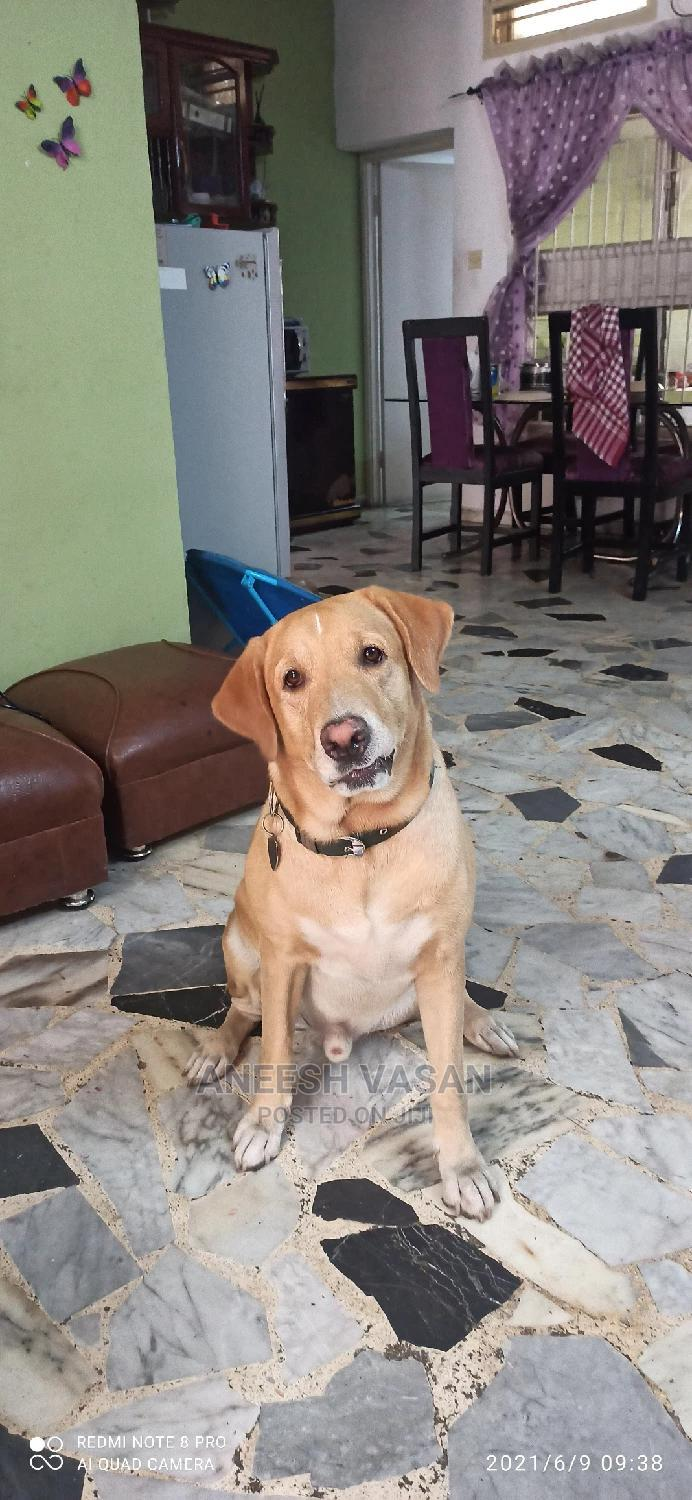 Young Male Labrador Available for Stud/Mating Services | Pet Services for sale in Ilupeju, Lagos State, Nigeria