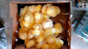 Dayold Chick for Sales | Livestock & Poultry for sale in Oyo State, Ibadan