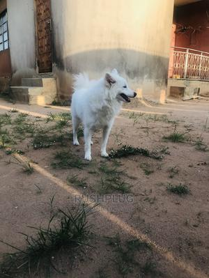 1+ Year Male Purebred American Eskimo   Dogs & Puppies for sale in Lagos State, Ogba