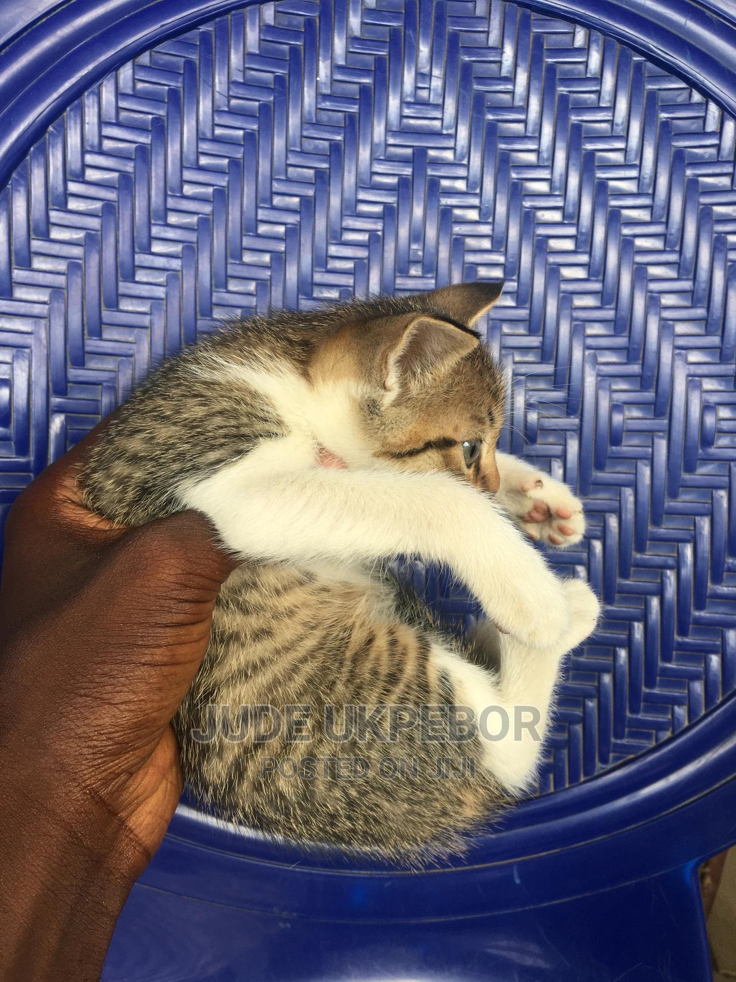 Archive: 1-3 Month Male Mixed Breed American Wirehair