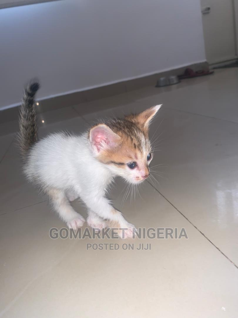 1-3 Month Male Mixed Breed Mongrel (No Breed)   Cats & Kittens for sale in Wuse 2, Abuja (FCT) State, Nigeria