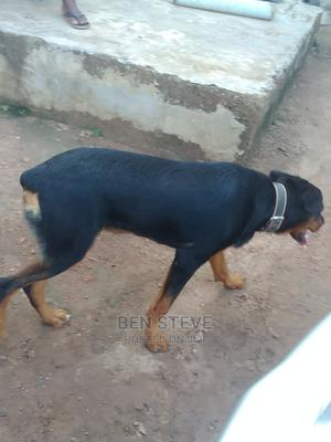 1+ Year Male Purebred Rottweiler   Dogs & Puppies for sale in Ogun State, Ado-Odo/Ota