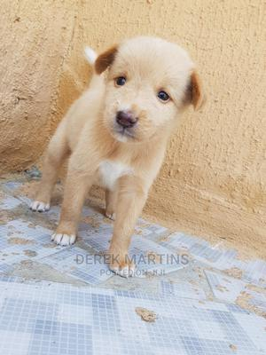 0-1 Month Male Purebred German Shepherd   Dogs & Puppies for sale in Lagos State, Ajah