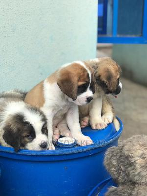 1-3 Month Female Purebred Saint Bernard   Dogs & Puppies for sale in Rivers State, Port-Harcourt
