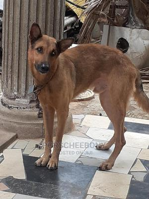 1+ Year Male Mixed Breed German Shepherd | Dogs & Puppies for sale in Abuja (FCT) State, Wuse